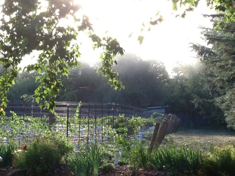 Grape Vines at Dawn
