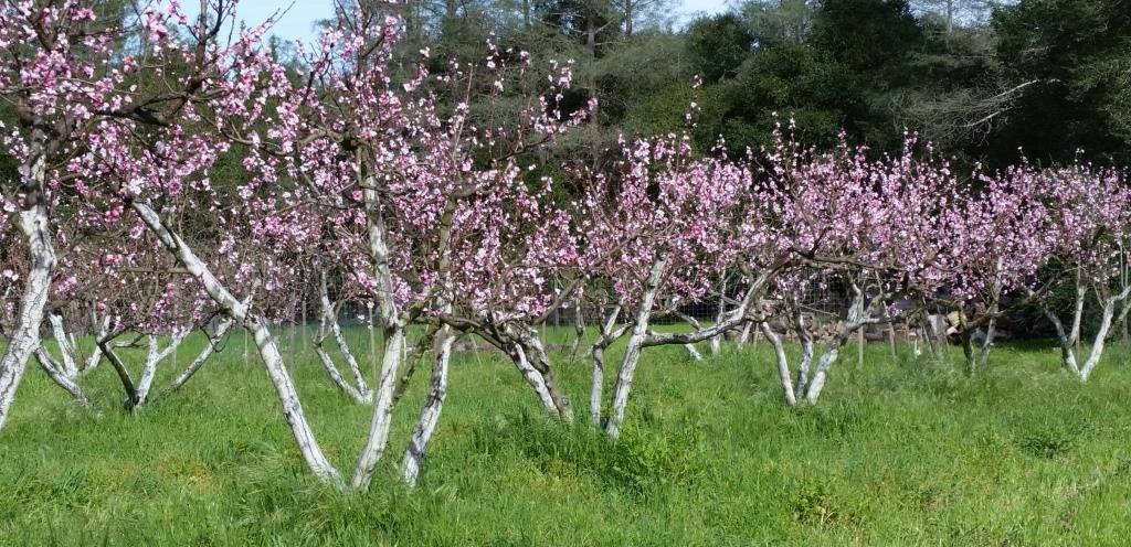 Peach Trees in Bloom